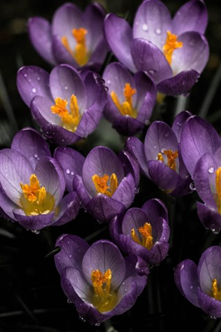 iPhone Wallpaper Purple crocuses, water droplets
