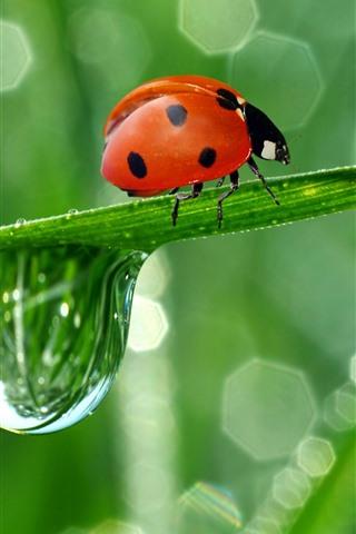 iPhone Wallpaper Red ladybug, green leaf, water droplet