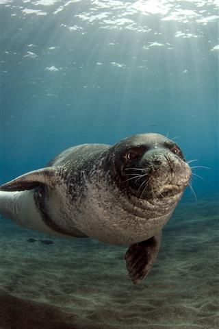 iPhone Wallpaper Sea animal, seals, underwater, sunshine