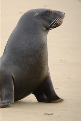 iPhone Wallpaper Sea lion, beach