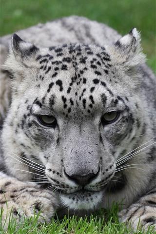 iPhone Wallpaper Snow leopard, grass, rest, face