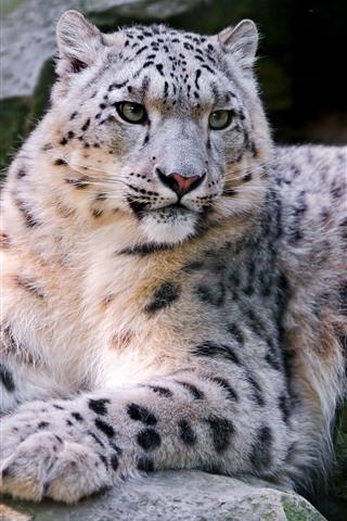 iPhone Wallpaper Snow leopard, wildlife, rocks