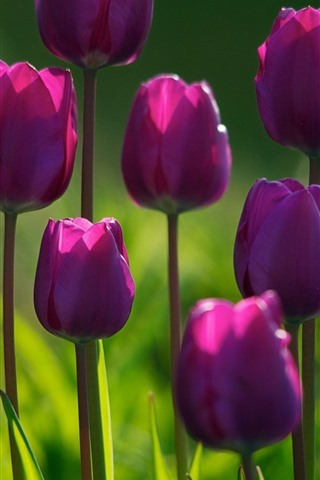 iPhone Wallpaper Some purple tulips, green background