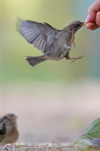iPhone Wallpaper Sparrow, feeding