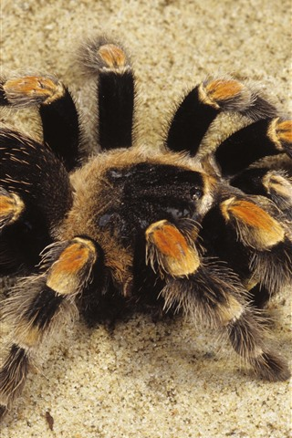 iPhone Wallpaper Spider, sands
