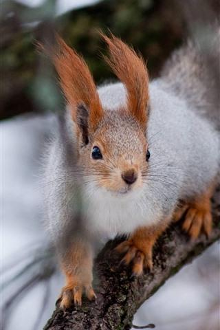 iPhone Wallpaper Squirrel, tree, tree branch