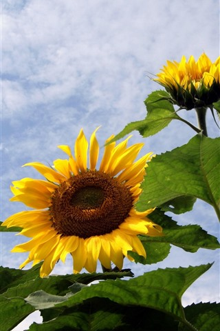 iPhone Wallpaper Sunflowers, sky, clouds, summer