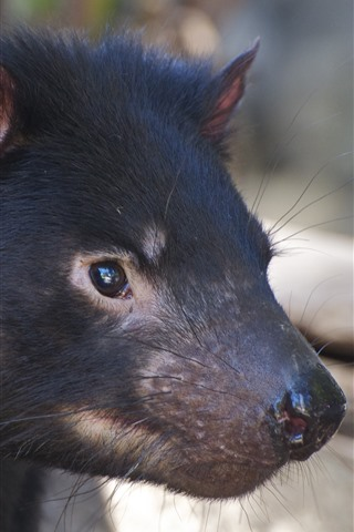 iPhone Wallpaper Tasmanian Devil, head, ears, eyes, nose