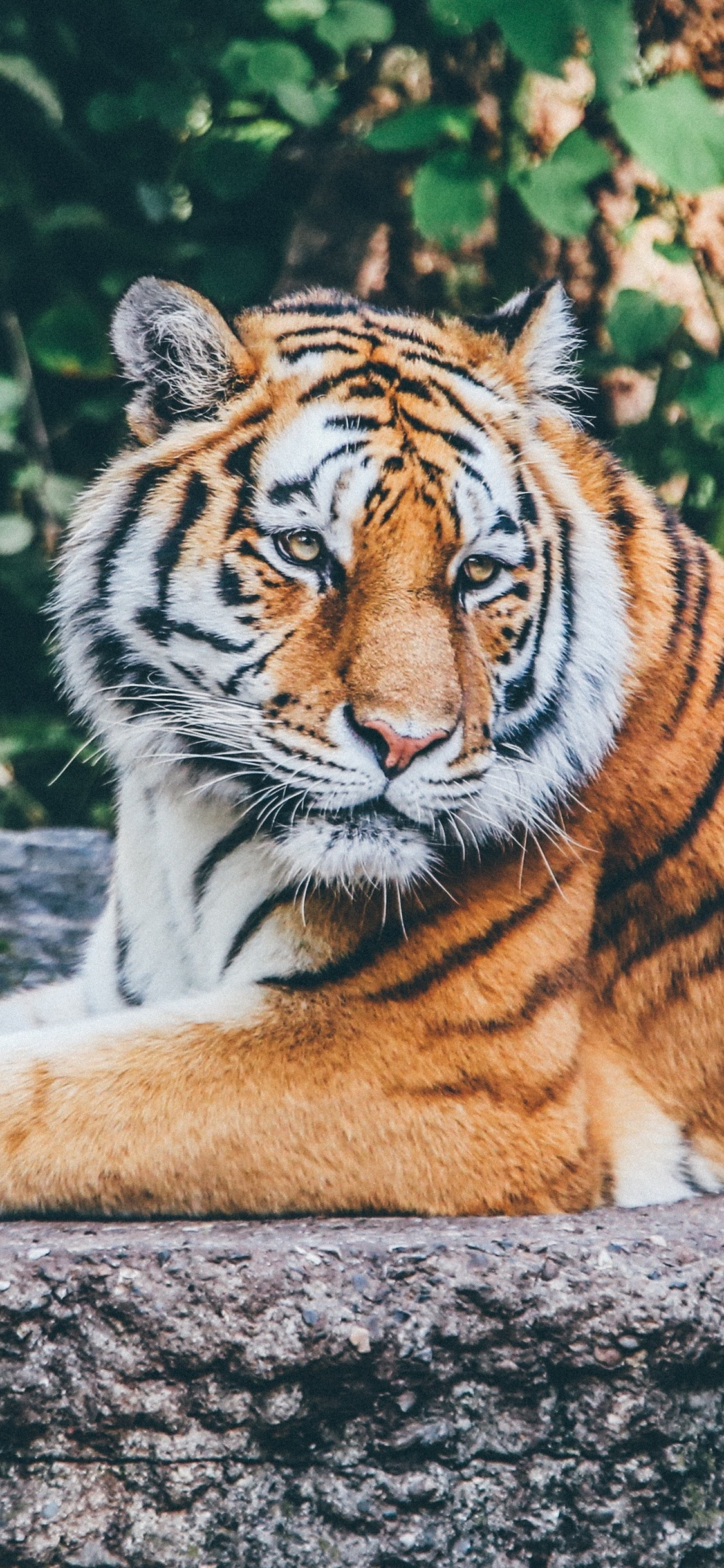 Tiger Rest Wildlife 1125x2436 Iphone 11 Pro Xs X Wallpaper Background Picture Image