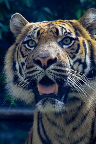 iPhone Wallpaper Tiger surprised, face, open mouth