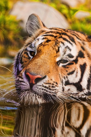 iPhone Wallpaper Tiger swimming in water, face