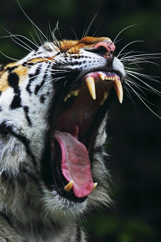 iPhone Wallpaper Tiger yawn, open mouth, teeth