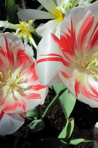 iPhone Wallpaper Tulips, white red petals