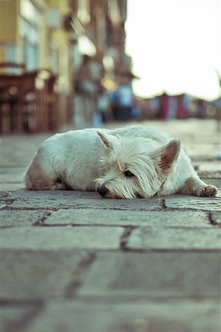 iPhone Wallpaper White dog rest, street