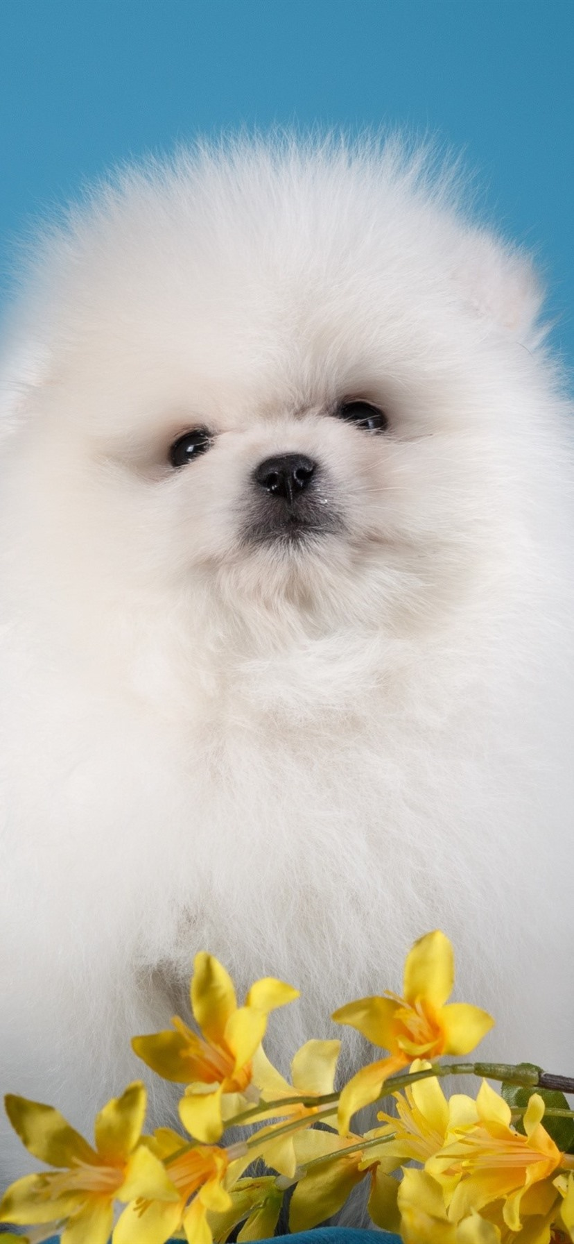 White Furry Puppy Black Background Yellow Flowers 828x1792