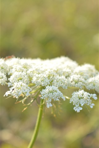 iPhone Wallpaper White little flowers, hazy
