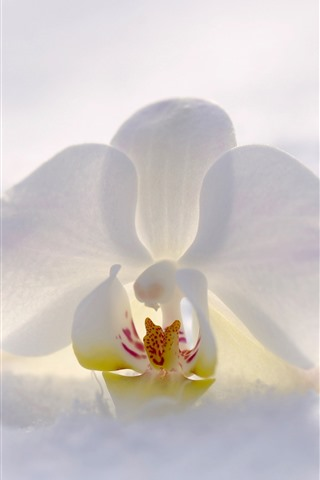 iPhone Wallpaper White phalaenopsis, snow