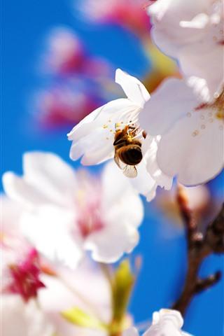 iPhone Wallpaper White sakura, petals, bee, hazy