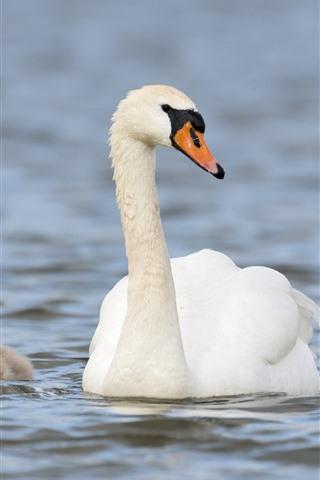 iPhone Wallpaper White swan family, lake