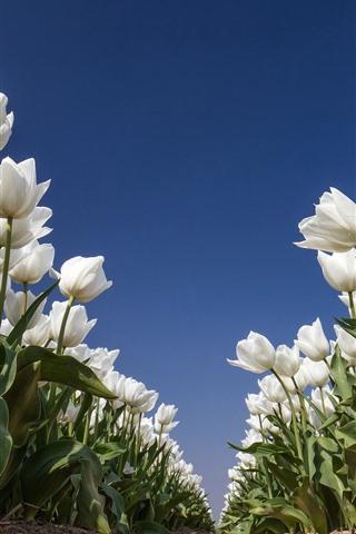 iPhone Wallpaper White tulips, flowers field, blue sky