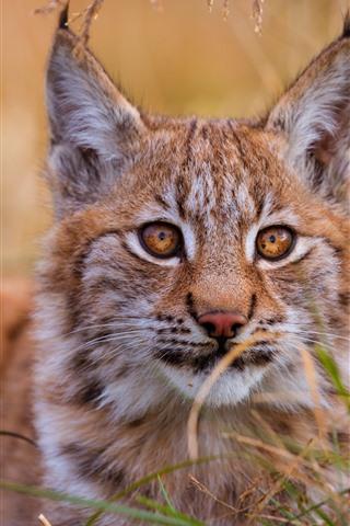 iPhone Wallpaper Wildcat, lynx, grass, face, eyes, ears