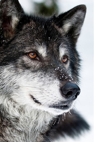 iPhone Wallpaper Wolf, face, snow, winter, wildlife