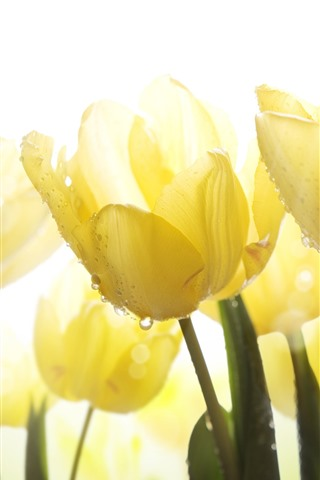 iPhone Wallpaper Yellow tulips, water droplets, glare