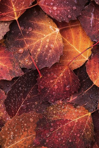 iPhone Wallpaper Autumn, some foligars, water droplets