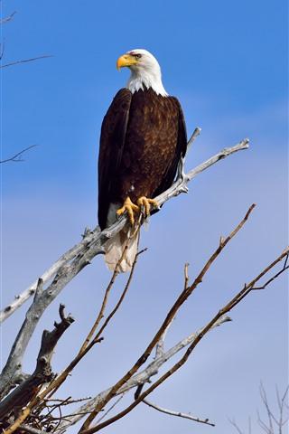 iPhone Wallpaper Bald eagle, tree, blue sky