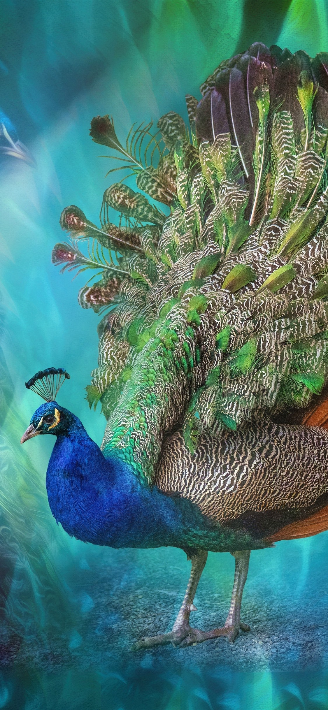 Beautiful Bird Peacock Colorful Feathers Creative Picture