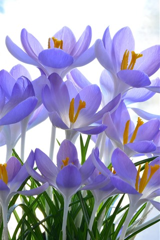 iPhone Wallpaper Beautiful purple crocuses bloom