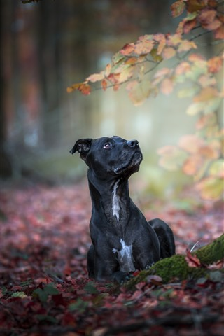 iPhone Wallpaper Black dog, autumn, ground, red leaves
