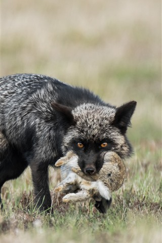iPhone Wallpaper Black fox hunt a rabbit