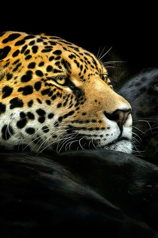 iPhone Wallpaper Black panther and leopard