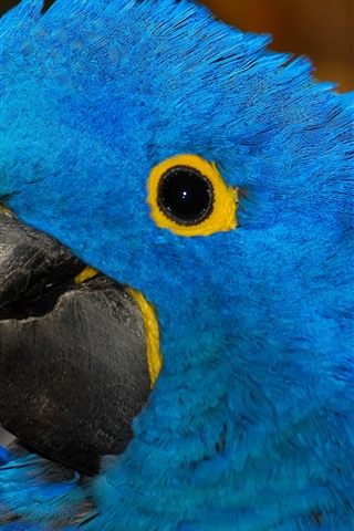 iPhone Wallpaper Blue feather parrot, head, eye