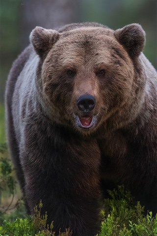 iPhone Wallpaper Brown bear front view