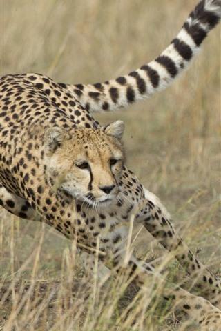 iPhone Wallpaper Cheetah hunting deer, speed