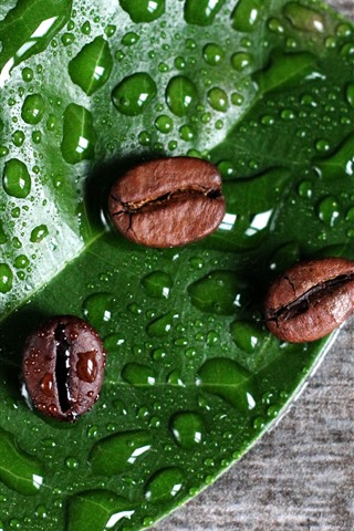 iPhone Wallpaper Coffee beans, green leaf, water droplets