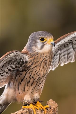 iPhone Wallpaper Cute falcon open wings