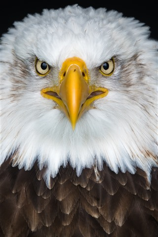 iPhone Wallpaper Eagle front view, white and brown feathers, beak, eyes
