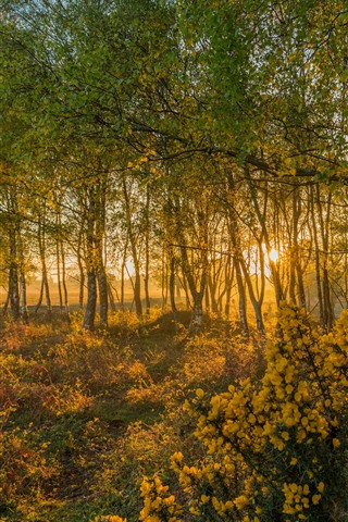 iPhone Wallpaper England, dawn, birch, trees, sunshine