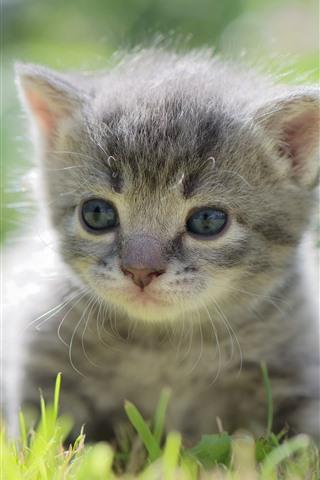 iPhone Wallpaper Furry gray kitten, cute pet