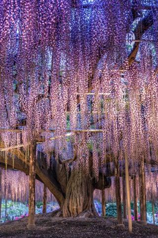 iPhone Wallpaper Japan, beautiful wisteria, purple flowers
