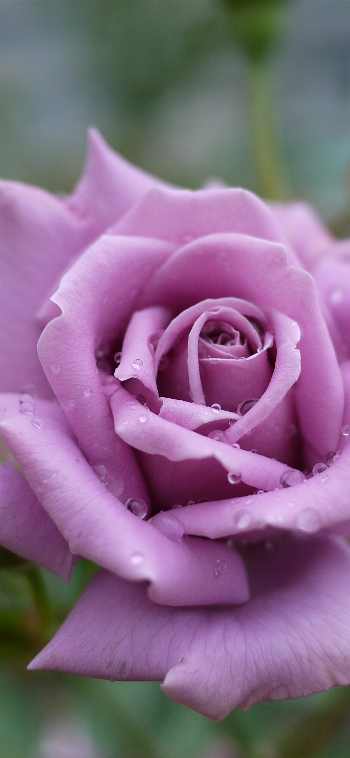 Light Purple Rose Petals Water Droplets 1125x2436 Iphone 11 Pro Xs X Wallpaper Background Picture Image