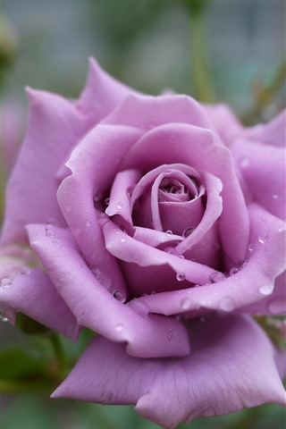 iPhone Wallpaper Light purple rose, petals, water droplets