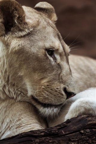 iPhone Wallpaper Lioness and cub, wildlife