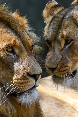 iPhone Wallpaper Love, lion and lioness