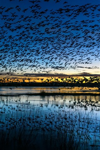 iPhone Wallpaper Many birds flight, lake, sky, dusk