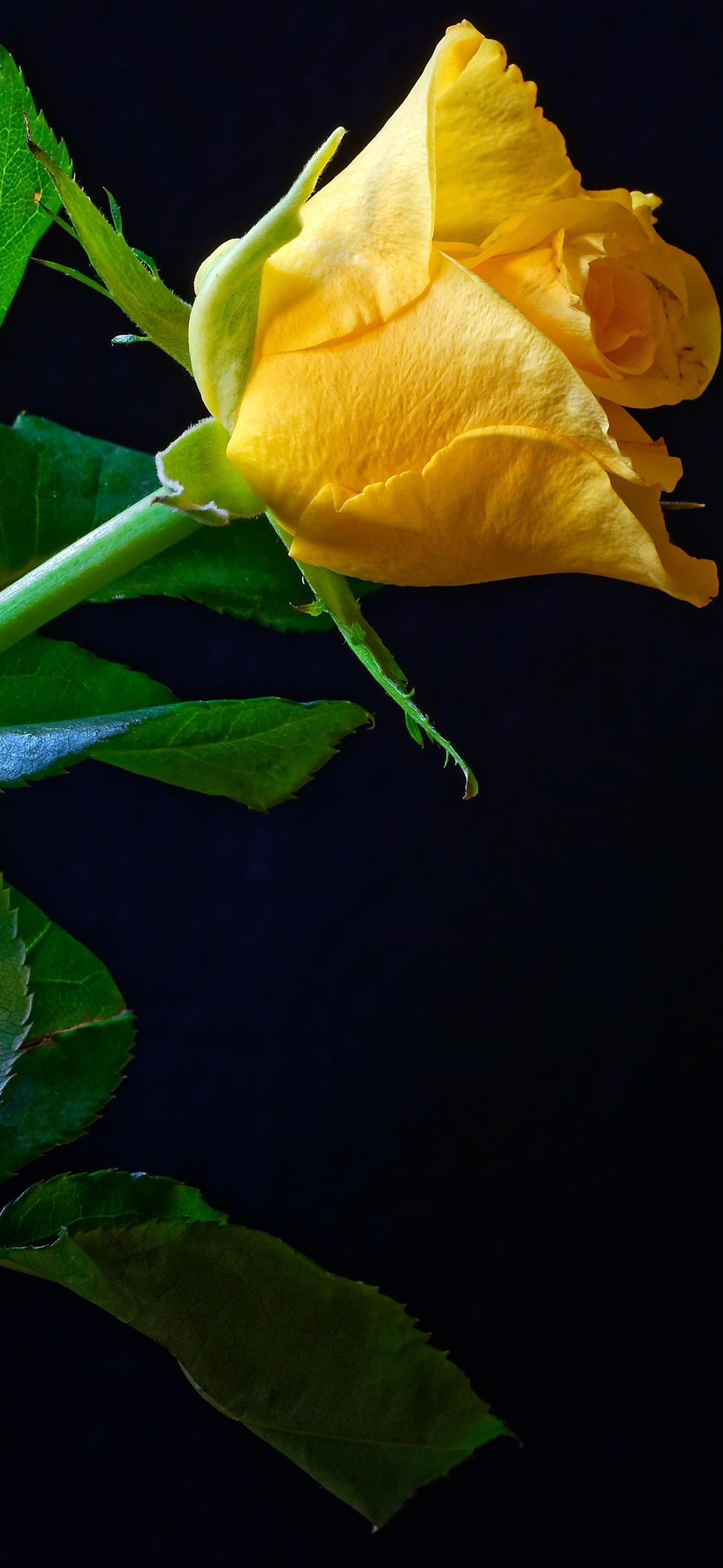 One Yellow Rose Green Foliage Black Background 1125x2436 Iphone 11 Pro Xs X Wallpaper Background Picture Image