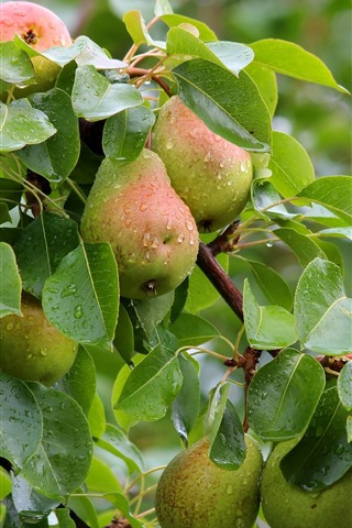 iPhone Wallpaper Pear tree, many fresh pears, leaves, water droplets